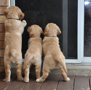 COPE Service Puppies Want In